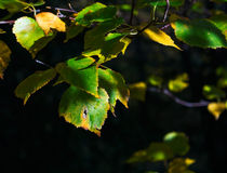 Last green of summer leaves in shadows Stock Image