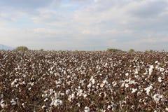 Cotton field Royalty Free Stock Photo