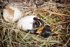 Last hatching effort of a duckling. Little hatching duckling paying its last efforts to get out of the egg Stock Images