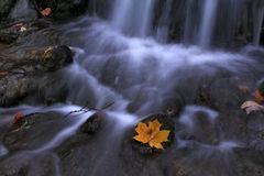 The Last Hero. Late autumn. Small waterfall in the forest. Maple leaf of the last forces held on to the stone Royalty Free Stock Photo