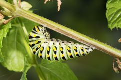 Last instar of Black Swallowtail butterfly caterpillar getting ready to pupate stock image