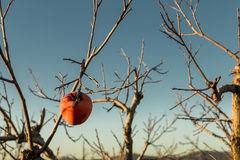 The last kaki. A lone kaki on the leafless branches of the tree Stock Image