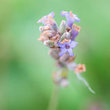 The Last Lavender Royalty Free Stock Image