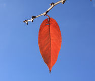 Last leaf. Close up of the last red leaf on a branch Royalty Free Stock Photos
