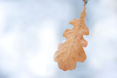 Last leaf. Leaf of oak on the snowy winter day Stock Photo