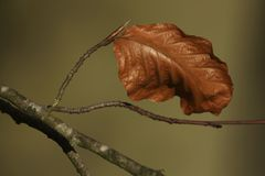 The last leaf of a Beech tree. Autumn is over and winter has just begun as this last leaf of a Beech tree is hanging there. There are already buttons on the Royalty Free Stock Photos