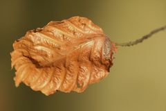 The last leaf of a Beech tree Stock Images