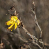 Last leaf on a branch Royalty Free Stock Image