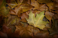 Last leaf fall. The last leaf, still retains some of its color Stock Image