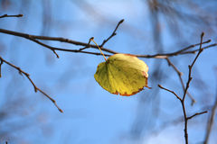 The last leaf of a tree Royalty Free Stock Photos