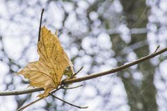 Last leaf on tree and first snow. Last yellow leaf on tree and first snow in british woodland.Season changing from autumn to winter.Nature Uk,autumn colors Stock Photography