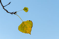 Last Leaf Of Tree In Late Fall Royalty Free Stock Photo