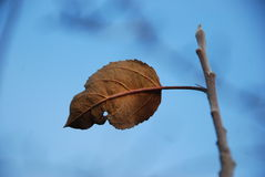Last leaf Stock Photography