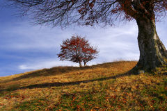 Last leafs. Two trees with last leafs in a wonderful autumn day. gorgeous light on the top of the hill stock photography
