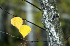 Last leaves. Stock Photography