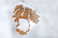 Last leaves. Leaves of oak on the snowy winter day stock photos
