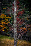 The last leaves of the autumn. A solitude tree with the last colored leaves of the autumn Royalty Free Stock Photography