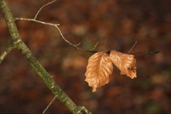 The last leaves of a Beech tree stock photos