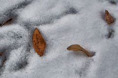 Last leaves. The last leaves of the leaving fall sink under snow of new winter Royalty Free Stock Images