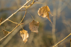 Last leaves on poplar tree branch, sunlit close-up Royalty Free Stock Photos