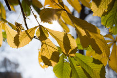Last leaves on tree Stock Photography