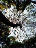 The last leaves of a tree in autumn, bottom view stock photo