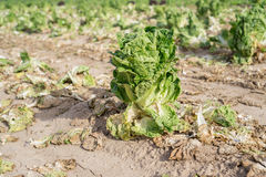 The last lettuce in the field Stock Photography