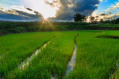 The last light with green rice field Stock Image