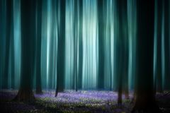 Mystical misty spring pristine beech forest. Tree trunks and sun lit violet blue bluebell flower carpet. Consept for purity, serenity, hope and tranquility royalty free stock photography