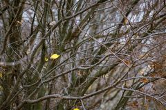 The last lone yellow leaf on a tree branch in the autumn. Thick. Bare branches of the tree stock photography