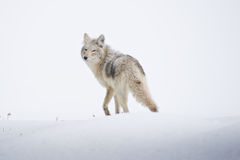 Last Look. Coyote takes a parting glance after sharing precious time together stock photography