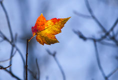 Last Maple Leaf. One maple leaf remaining on a branch of a tree in autumn flies like a flag Royalty Free Stock Photography