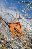 Last maple leaf after a snowstorm Royalty Free Stock Images