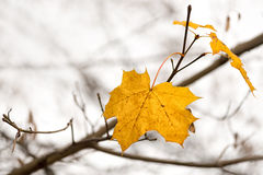 Last maple leaves Stock Images