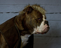 The Last of the Mohicans.....bulldog Stock Photography