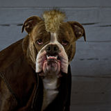 The Last of the Mohicans.....dressed bulldog Stock Images