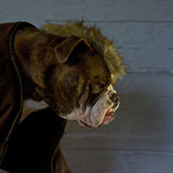 The Last of the Mohicans..... hard dog. Royalty Free Stock Photography