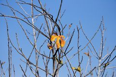 Last orange leaf on the fig tree in the autumn Stock Photos