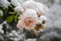 Last pink roses full of snow, frozen in the winter garden Stock Photos