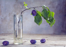 Last plum on a branch in a glass vase on rustic wood Royalty Free Stock Photo