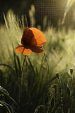 The last poppy. Fields of poppies near Somes river Stock Photography