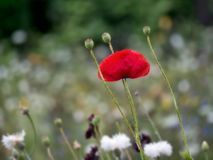 Last poppy in the wildflower meadow, nature background. Royalty Free Stock Image