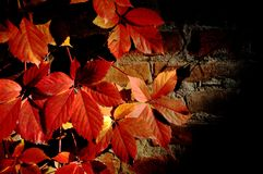 Last ray of sun. Red leafs in last rays of october& x27;s sun Royalty Free Stock Photography
