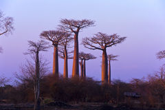 Last rays in Morondava Royalty Free Stock Photography