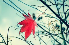 Last red maple leaf Royalty Free Stock Images