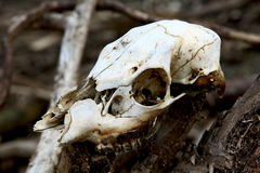 Last remains. Old animal skull tangled in woods due to floods Stock Image