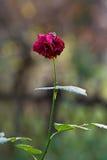 Last rose in autumn Stock Photos