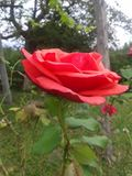 The last rose in the garden Royalty Free Stock Photography