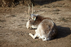 Almost last saiga Stock Image