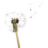 Last seeds flying from on white dandelion Stock Photography
